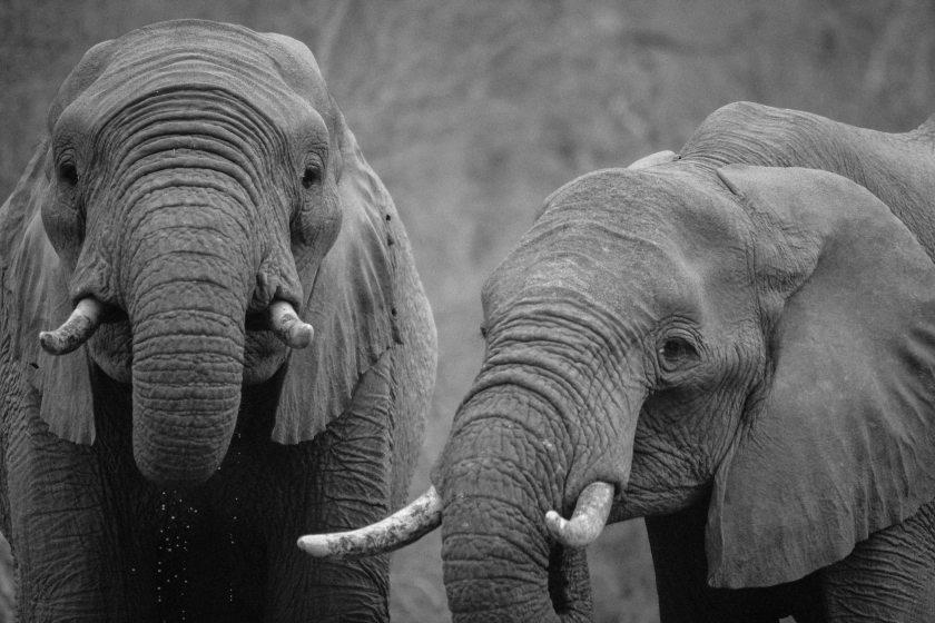 africa-animals-black-and-white-16023.jpg